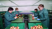 retailer : in an apple processing factory, workers in gloves sort apples. Ripe apples sorting by size and color, then packing. industrial production facilities in food industry