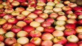 ripened : fresh picked apple harvest. The process of washing apples in a fruit production plant, Special bath, packing tub at fruit warehouse. Sorting apples at the factory. food industry