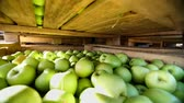 engradado : close-up, wooden containers, boxes, baskets filled to the top with large green delicious apples at fruit processing plant, warehouse. fresh picked apple harvest on farm Stock Footage