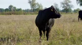 boeufs : close up, in meadow, on farm, big black pedigree, breeding cows, bulls are grazing. summer warm day. Cattle for meat production in pasture. selection of cows, bulls.