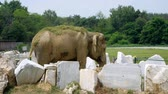 слоновая кость : an elephant is standing in an open-air cage in a park, sprinkling himself with grass, having fun.