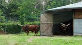 boğa : Horned African Ankole-Watusi cows go out of a wooden shed. artiodactyls. herbivores. Travel in the car in the SAFARI zoo.
