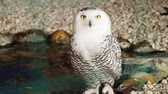 belçika : close-up, white beautiful big owl with big yellow eyes. Stok Video