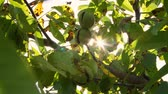 ореховая скорлупа : close up. Green european ripe walnuts growing on the tree among leaves, in the light of the sun. walnut trees with ripening walnuts on a large rural plantation Стоковые видеозаписи
