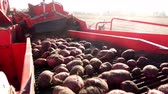 клубень : close-up. Red colored potato harvester, digs up and places potatoes on conveyor belt to special container. Farm machinery Harvesting fresh organic potatoes in an agricultural field. early autumn
