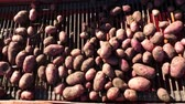 tubers : close-up. Red colored potato harvester, digs up and places potatoes on conveyor belt to special container. Farm machinery Harvesting fresh organic potatoes in an agricultural field. early autumn