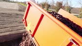 tubers : potato harvester unloads potatoes in a Truck for transport. Farm machinery Harvesting fresh organic potatoes in an agricultural field. early autumn. agricultural production sector. Stock Footage