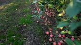 horticultura : close up, Many ripe fallen apples lying on the ground under apple trees in an orchard. early autumn. harvest of apples on the farm.