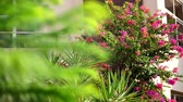 вилла : bougainvillea flowers, bush with beautiful pink flowers, bright juicy greens. summer hot day