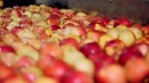 промывали : fresh picked apple harvest. The process of washing apples in a fruit production plant, Special bath, packing tub at fruit warehouse. Sorting apples at the factory. food industry
