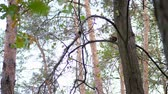 ardilla : close-up, yellowed autumn forest. on the branches of trees, small, fluffy, red squirrel climbs, jumps Archivo de Video
