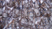 пористый : close-up, dry blue grapes on bare branches of bushes, under snow, on a background of a brick wall. winter, frosty, snowy, sunny day.