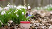 przebiśniegi : close-up, amid blooming snowdrops in spring forest, tea from a vaccum flask is poured into a vaccum flask cup . a hot drink during hike