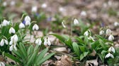 przebiśniegi : close-up. Blooming snowdrops in the forest. Snowdrops are rare flowers recorded in the Red Book, are protected by law. early spring