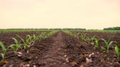 produção : Corn field, Rows of young corn plants, seedlings on fertile, moist soil, warm spring day, growing corn in an agricultural field