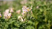 flower gardening : close-up, flowering potatoes. white, pale pink flowers bloom on potato bushes on a farm field. potato growing. breeding potato varieties. summer hot sunny day.