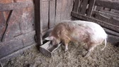 The pig eats from a trough in the barn. General view