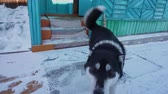 Dog meets at the entrance to the house. Funny Husky Стоковые видеозаписи