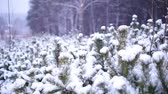 lapponia : Snowfall in the forest Filmati Stock