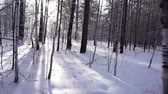 Winter forest. Siberian taiga