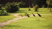 forragem : A group of geese running on the grass. Vídeos