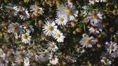 crushed : A large Bush of beautiful blooming chamomile