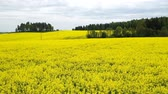 sostenible : Colorful yellow spring crop of canola