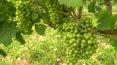 bağcılık : 4K video clip of grape vines growing in a Rhine Valley vineyard, Germany, Europe