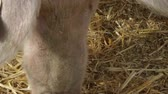 boar : Pigs on the farm eating, closeup Stock Footage