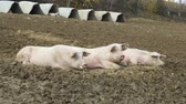 boar : happy, pink pigs in the country