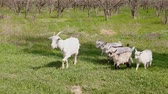 milk goat : a herd of goats in garden with green grass in the spring