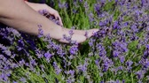 descontraído : womens hands touch purple lavender in the field