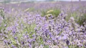 perfume : purple lavender flowers in a field with the wind Stock Footage
