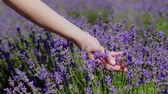 feel : womens hands touch purple lavender in the field