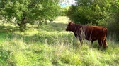 búfalo : Grazing bull eats fresh green grass