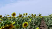 ripened : field of ripe sunflowers before harvest