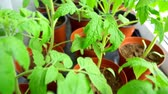 window gardening : Seedlings of tomatoes at home on the windowsill.