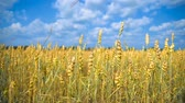 agribusiness : The field of wheat growing in a farm field.