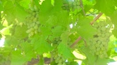 vine plant : Green grape bunches growing in the garden.