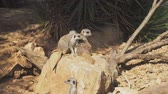vigilante : Mob of meerkats sitting in the national park.
