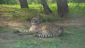 cheetah : Gepard resting in the national park. Acinonyx jubatus. Stock Footage