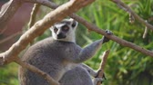 sedět : Ring-tailed lemur in the national park.