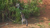 catta : Ring-tailed lemurs playing in the national park. Stock Footage