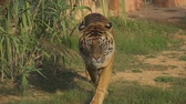 konsantre : Tiger walking straight in national park. Stok Video