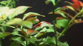 wild cherry : Close-up view of Freshwater Red Shrimp. Neocaridina davidi. Stock Footage