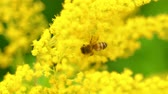 нектар : Closer view of bee on the yellow flower.