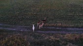 rotwild : Aerial view: deer eating grass in the field. Beautiful deer in an autumn evening at sunset in the wild