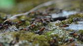 stacking : Macro video of ants running through moss and carrying construction materials for an anthill