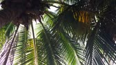 sonhar acordado : Bottom view on palm tree with young coconuts. Sunlight passes thru green tropical leaves. HD slowmotion Vídeos