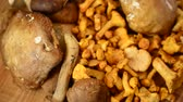 cantharellus : Cantharellus. Mushrooms. Shooting of forest mushrooms.